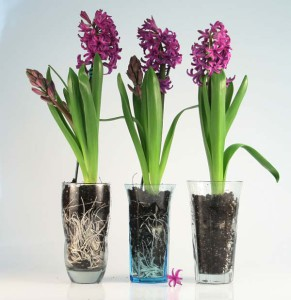 нужно ли поливать гиацинт после цветения