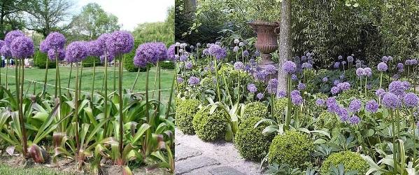 цветы аллиум посадка и уход фото