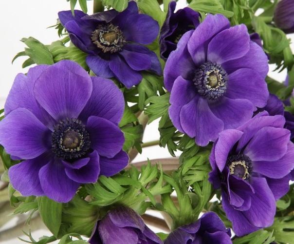на фото цветы анемона