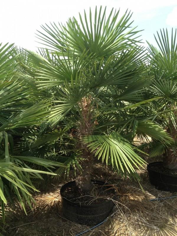 пальма описание