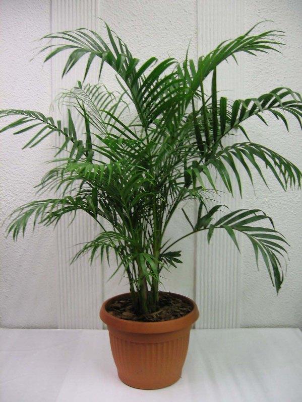 смертельный пальмы фото и названия комнатные расскажу