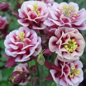 цветы аквилегия на фото