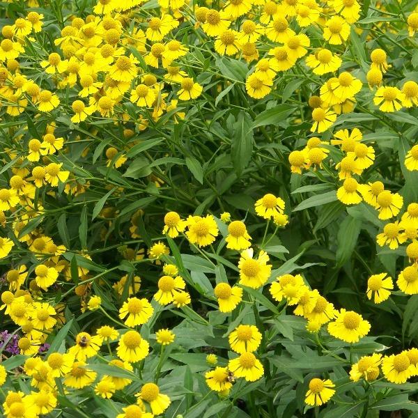 на фото цветы гелениум