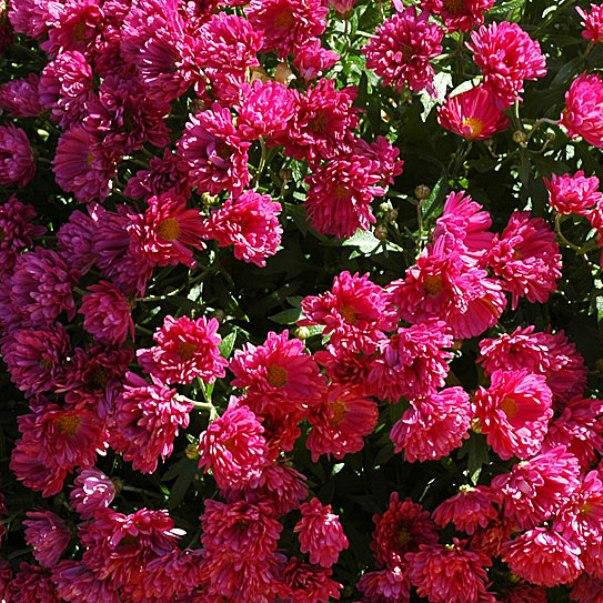 саовые хризантемы на фото