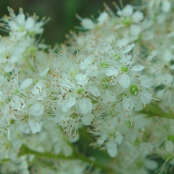 растение лабазник на фото