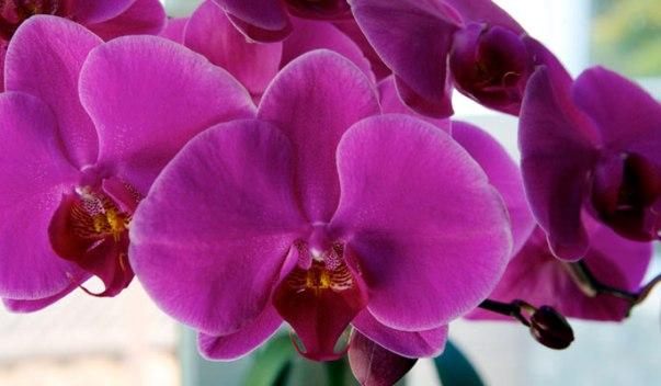 peresadka-orhidei