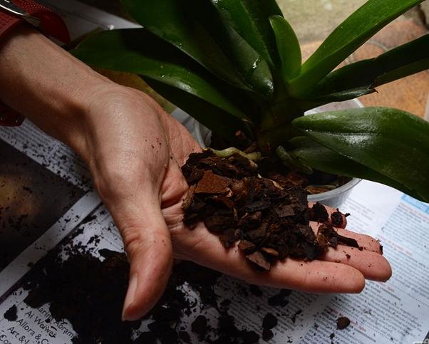 peresadka-orhidei5