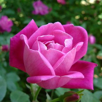 Луковичные садовые цветы, фото и названия по срокам цветения | 350x350