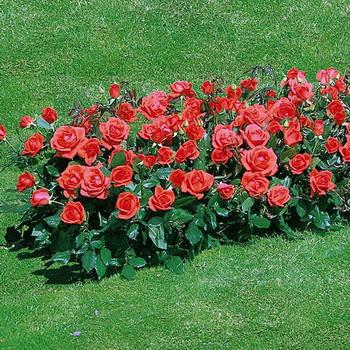 10 лучших сортов роз флорибунда