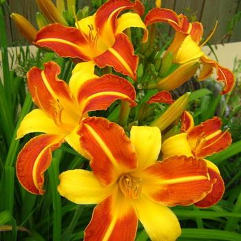 Сорта лилейника описание разновидностей особенности ухода за цветами