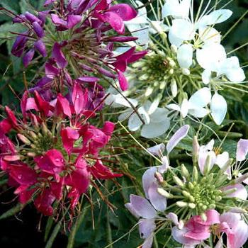 Выращивание в саду цветов клеома