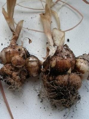 как выглядит луковица крокуса