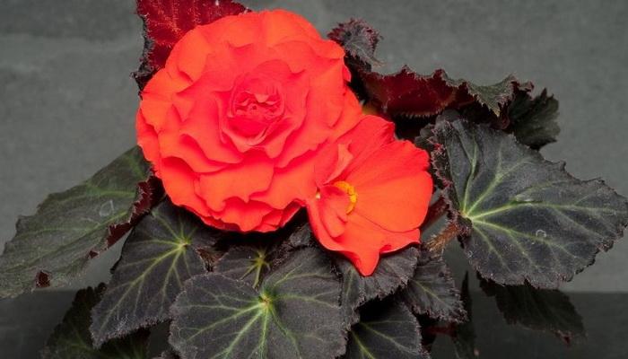 Декоративно цветущие бегонии. Прекрасная бегония и её чудесные виды