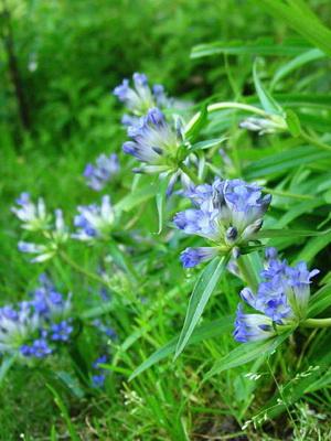 Цветок горечавка: фото, описание, посадка и уход за растением в открытом грунте
