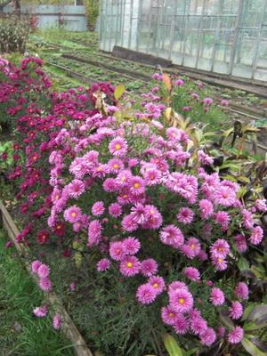 ромашка цветная садовая фото