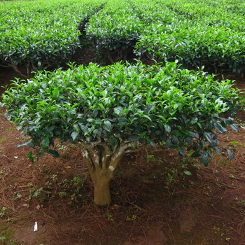 Чайное дерево уход в домашних условиях