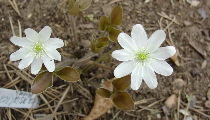 Цветок печеночница: фото и описание растения, посадка и уход в открытом грунте