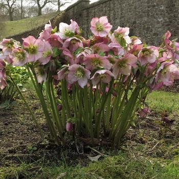 Цветок морозник – выращивание в саду, посев и уход за морозником, виды и сорта