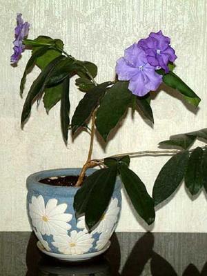 Аукуба описание видов и сортов посадка и уход в домашних условиях