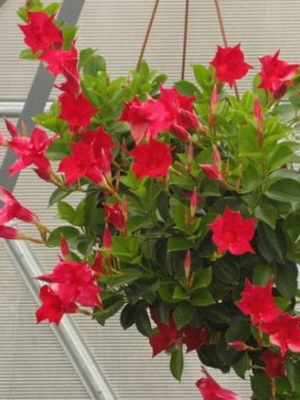 Мандевилла (Mandevilla) — описание, выращивание, фото