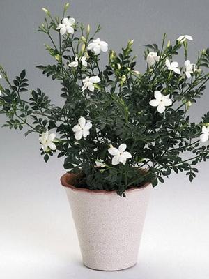 как называется цветок который пахнет жасмином