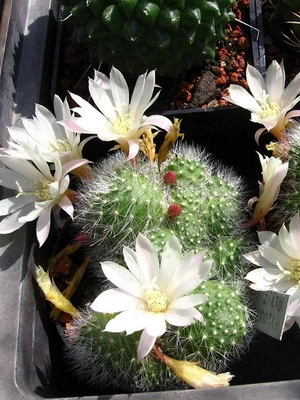 Кактус ребуция Уход в домашних условиях Выращивание из семян Фото видов и описание