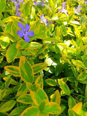 2906a-24 Барвинок (Катарантус). Выращивание из семян и черенков: пошаговый мастер-класс. 50 фото барвинка