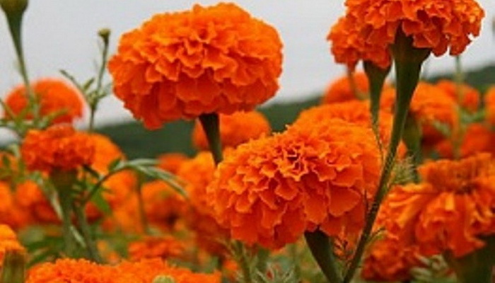 Горицвет весенний описание
