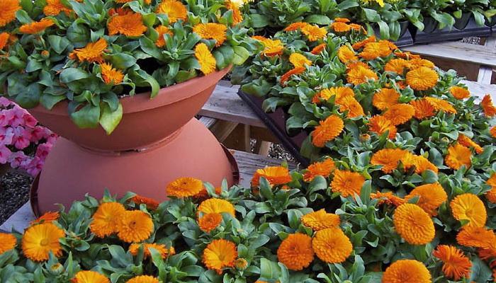 1507a-68 Настурция: фото, как выглядят сорта и виды настурции, как выращивать цветы и их применение