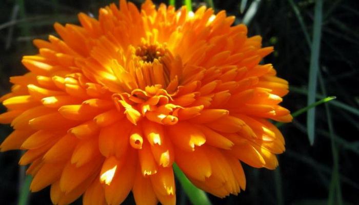 1507a-69 Настурция: фото, как выглядят сорта и виды настурции, как выращивать цветы и их применение