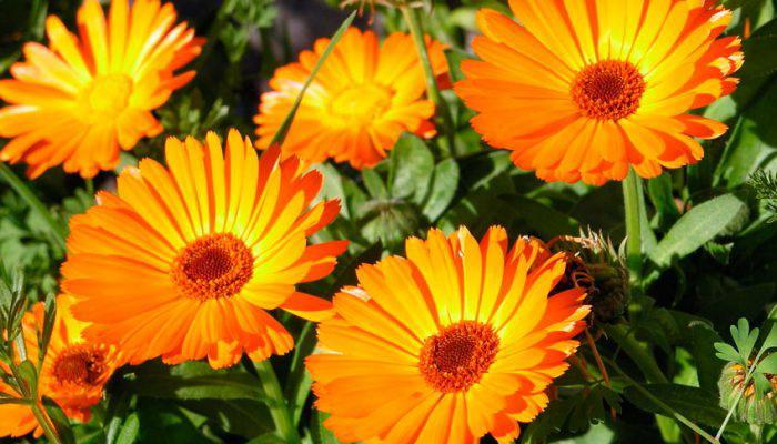 1507a-70 Настурция: фото, как выглядят сорта и виды настурции, как выращивать цветы и их применение