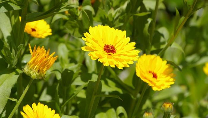 Цветы похожие на петунию как называются