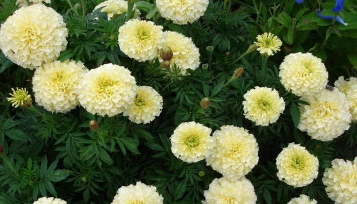 Крупноцветковые бархатцы 30 фото описание низкорослых и других бархатцев с крупными цветками