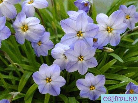 Очень красивые цветы ифейон на фото