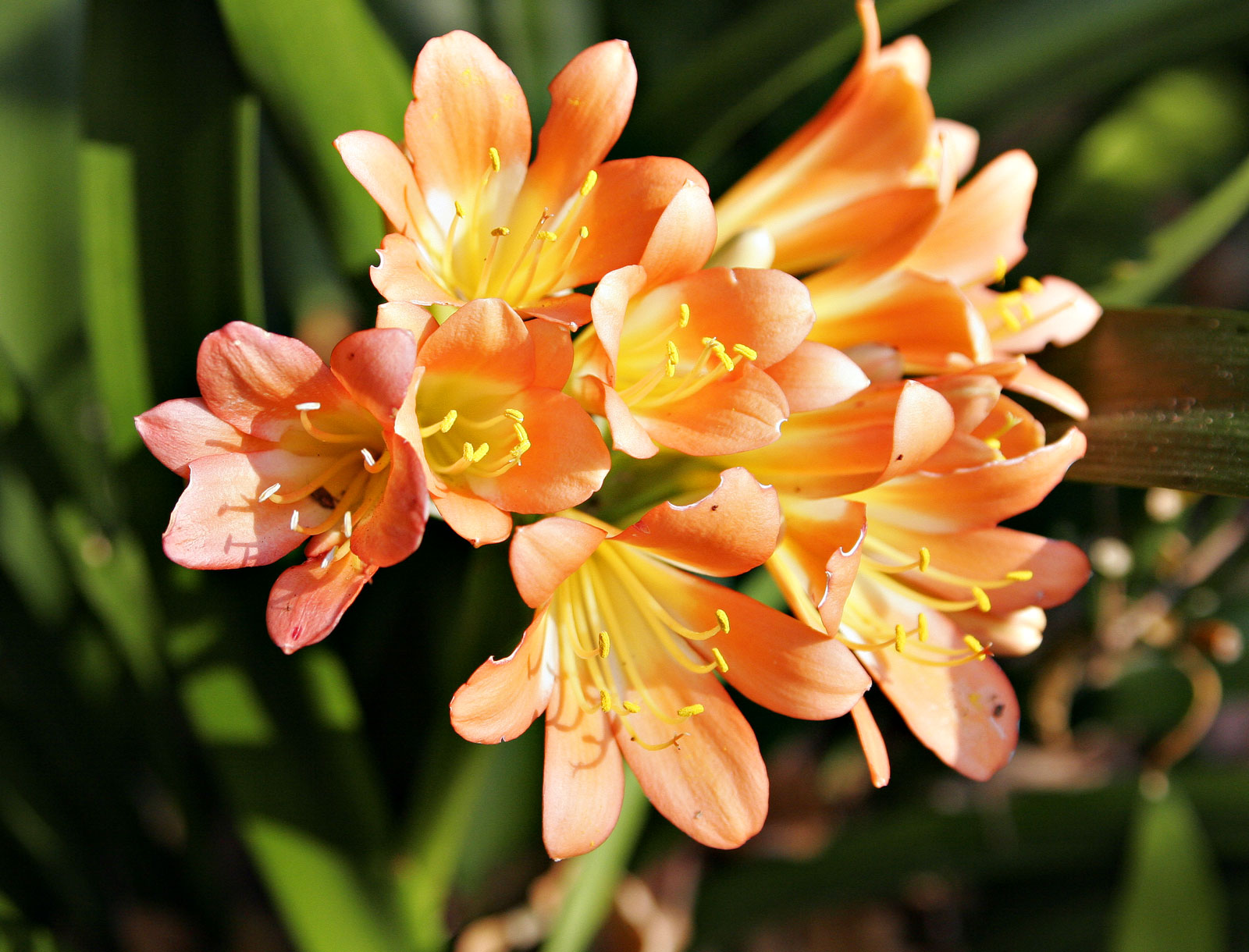 Цветы фрезия посадка и уход фото