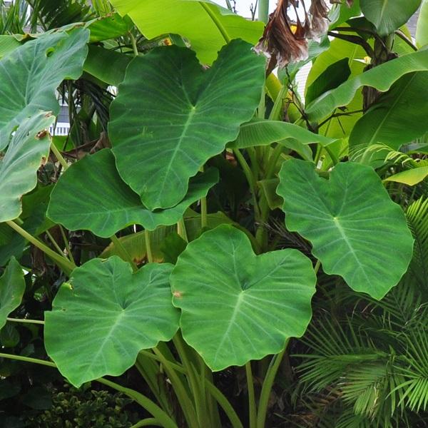 Садовые цветы с широкими листьями и названия 32
