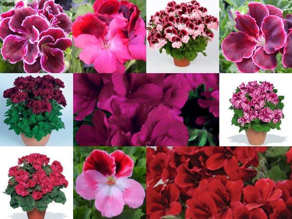 Фото цветов пеларгонии и герани