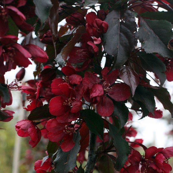 Декоративная яблоня в дизайне сада Обсуждение на