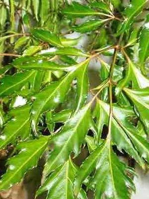 Растения с пестрыми листьями и их фото