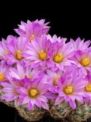 Комнатные цветущие кактусы