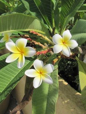Цветок с большими листьями и белыми цветами