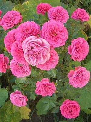 Комнатные цветы и кустарники с розовыми цветами: домашние 35
