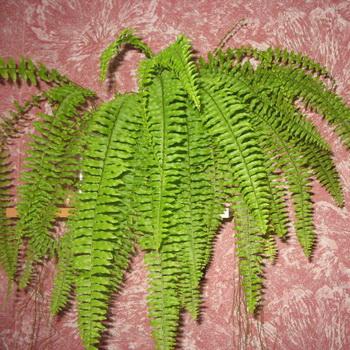 Комнатные цветы фото и название папоротник