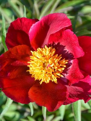 Фото цветка с красным центром 94
