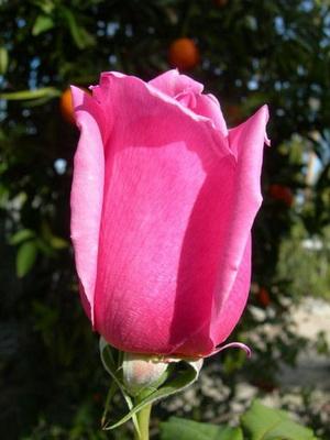 Английские розы Дэвида Остина - Посадочный материал