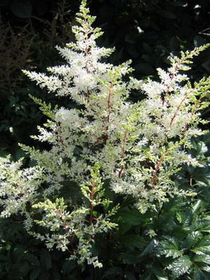 Цветы астильба
