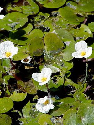 Водные цветы