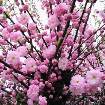 Миндаль дерево фото