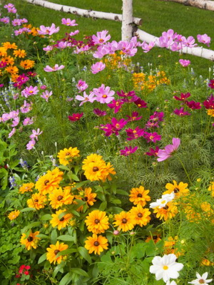 Цветок ромашка фото