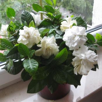 Цветок гардения как за ним ухаживать 99